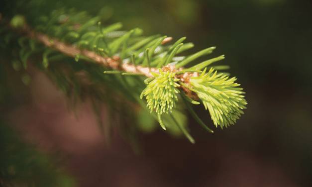 Foraged: Spruce Tips