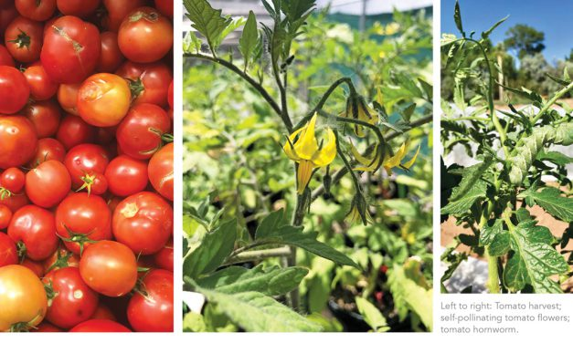 In the Throes of Tomatoes